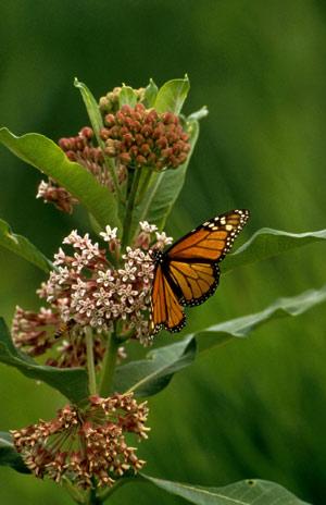 Sunny Garden Plants For Butterflies Butterfly Gardening