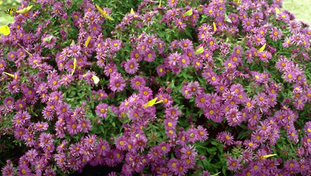 Ordinaire Types Of Plants To Attract Butterflies