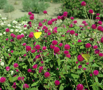 Charmant Types Of Plants To Attract Butterflies