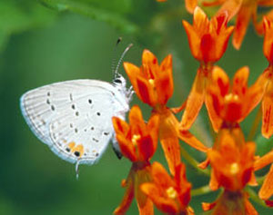 'Butterfly Gardening' from the web at 'http://butterflywebsite.com/images/Eastern_Tailed_Blue_butterfly.jpg'