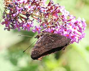Buddleia Butterfly Bush