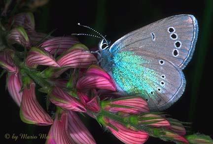 http://butterflywebsite.com/images/buttrfly/Mario.Maier/AlexisWU.jpg