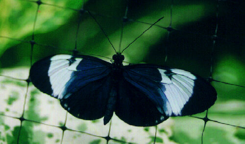 Heliconius Sara Butterfly