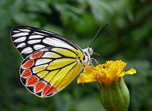 Marigolds Best Varieties For Butterflies