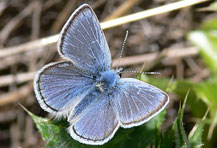 'Mission Blue Butterfly is one of many species of endangered butterflies and moths' from the web at 'http://butterflywebsite.com/images/menu/missionblue.jpg'