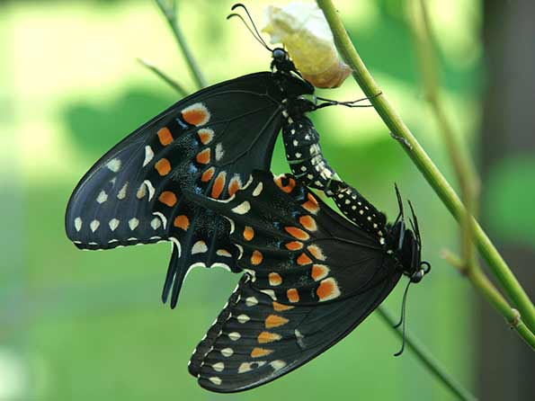 Role of Light in Butterfly Mating