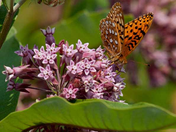 Planting & Care for Milkweed Plants