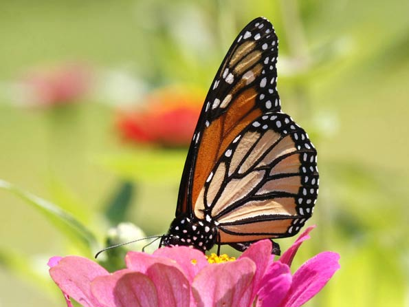 Monarch Butterflies - Pollinators