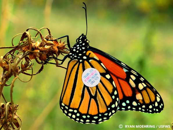 Monarch Tagging